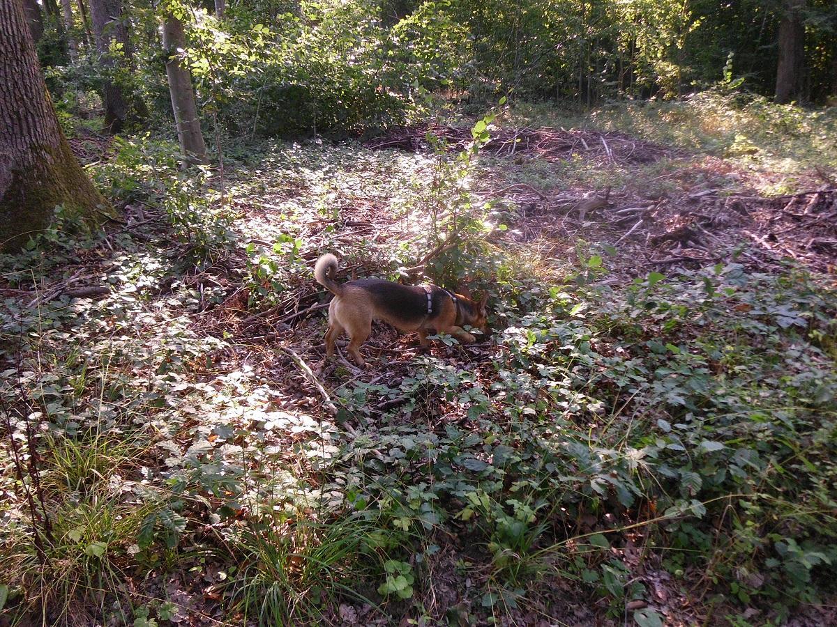 Hirschlausfliege beim Hund. Hündin sucht Mause im Wald