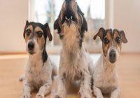 Hund allein Daheim. Drei Hunde warten auf Herrchen und einer weint