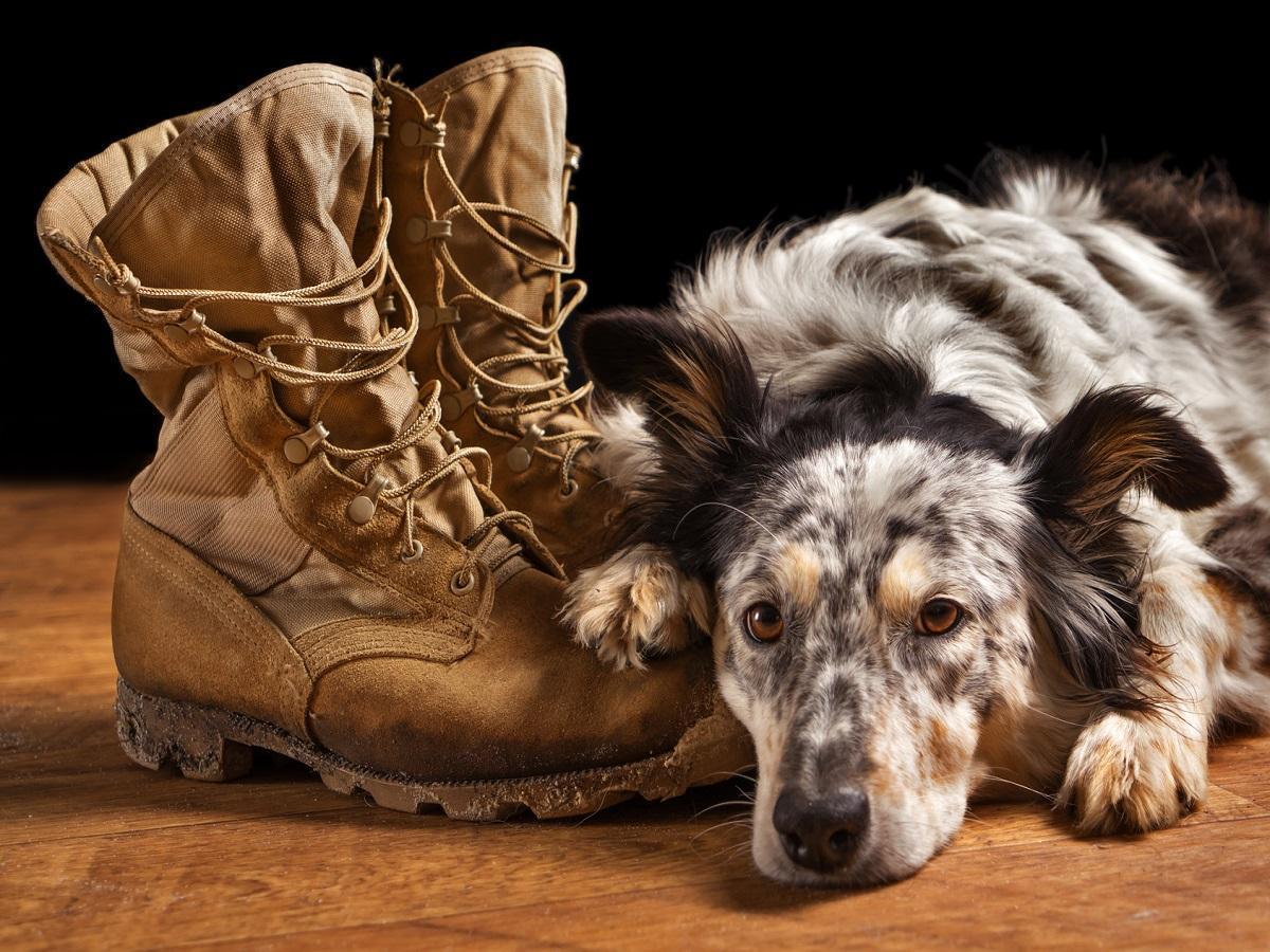 Hund allein Daheim. Border Collie liegt traurig auf Stiefeln von Besitzer