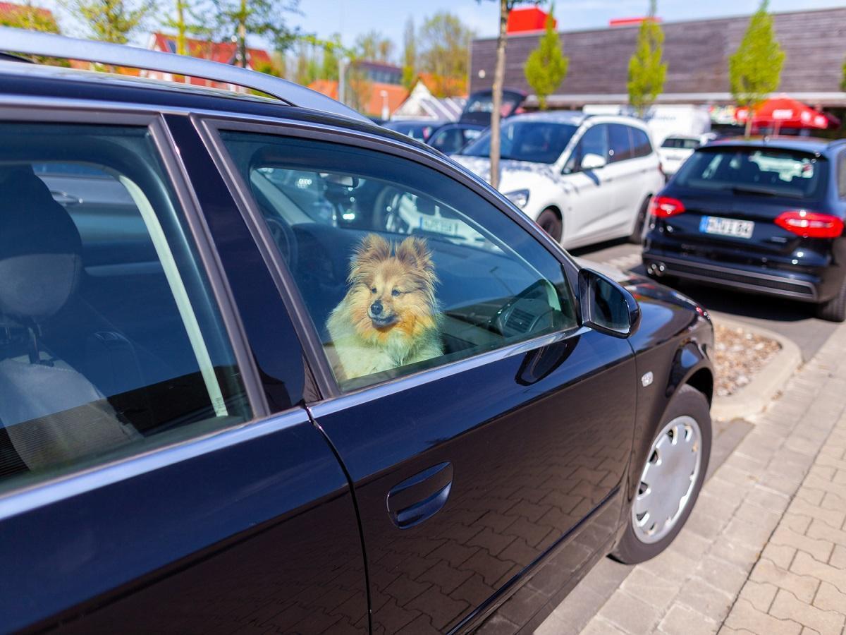 Hund bei Hitze. Shetland Sheepdog schaut aus dem Fenster eines Autos