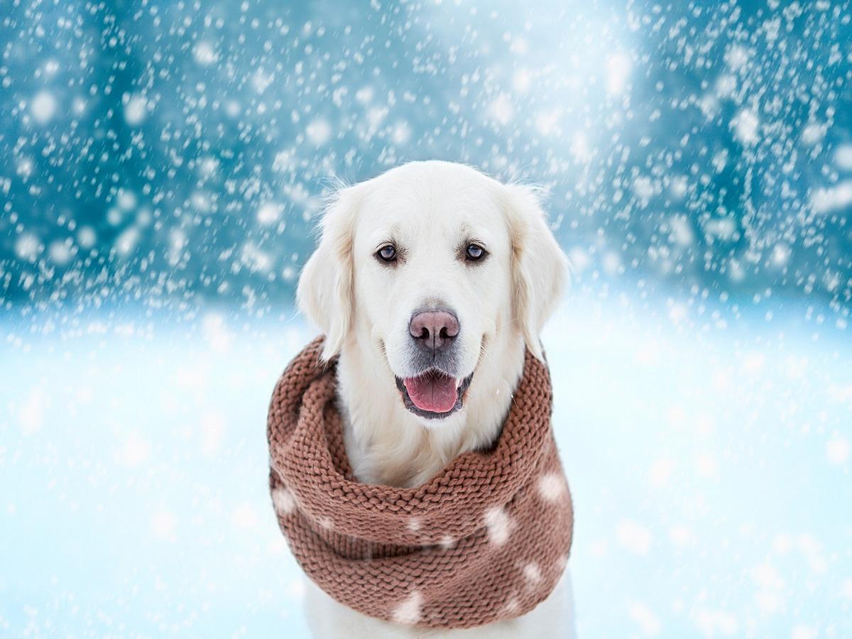 Hund bei Kälte. Weißer Hund mit Schal im Schnee