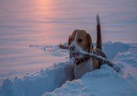 Hund bei kälte. Spürhund auf einem Weg bei Sonnenuntergang auf einem schneebedeckten Gebiet