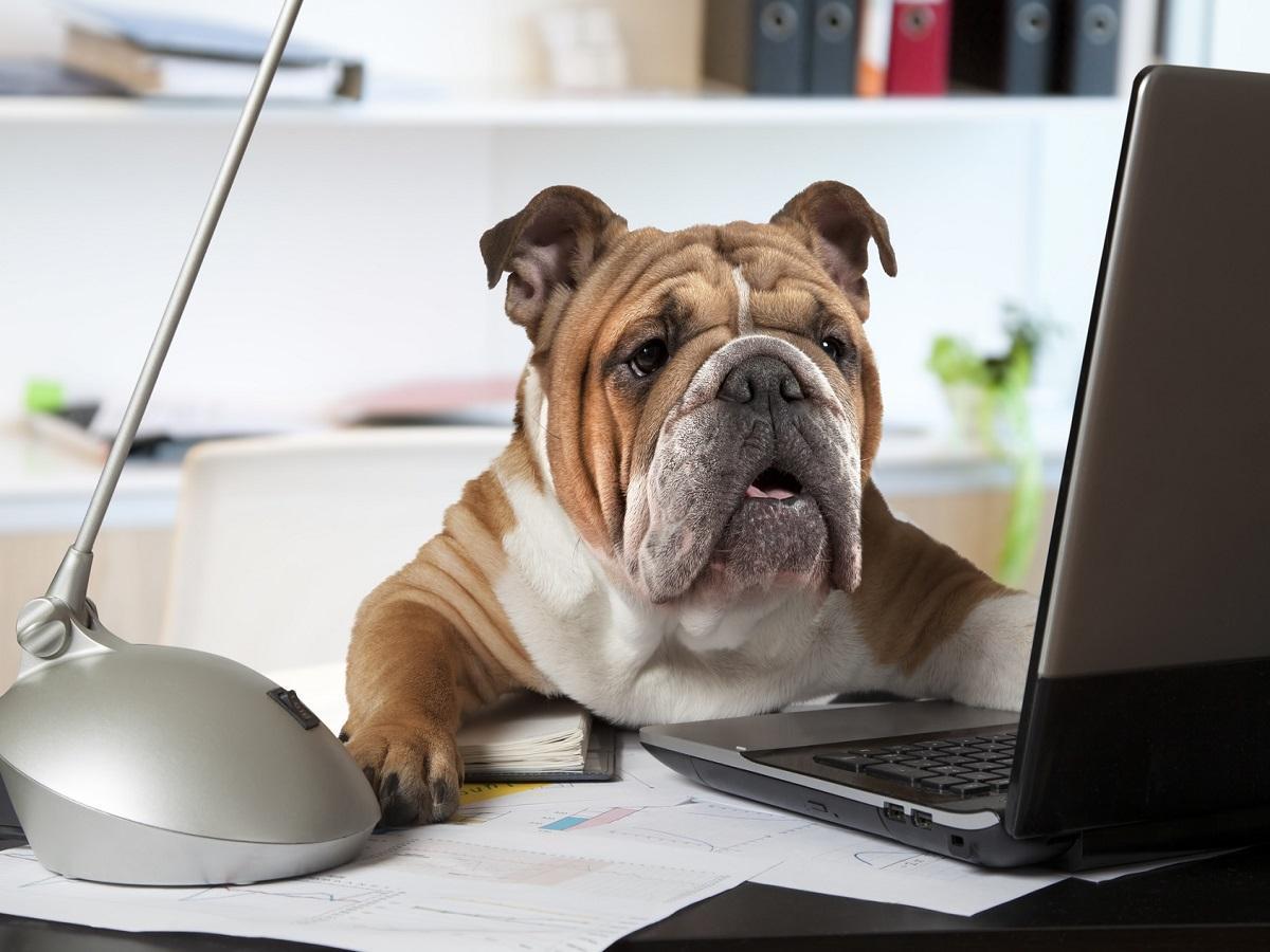 Hund im Büro. Englische Bulldogge die an einem Schreibtisch vor einem Computer als Bürovorsteher sitzt