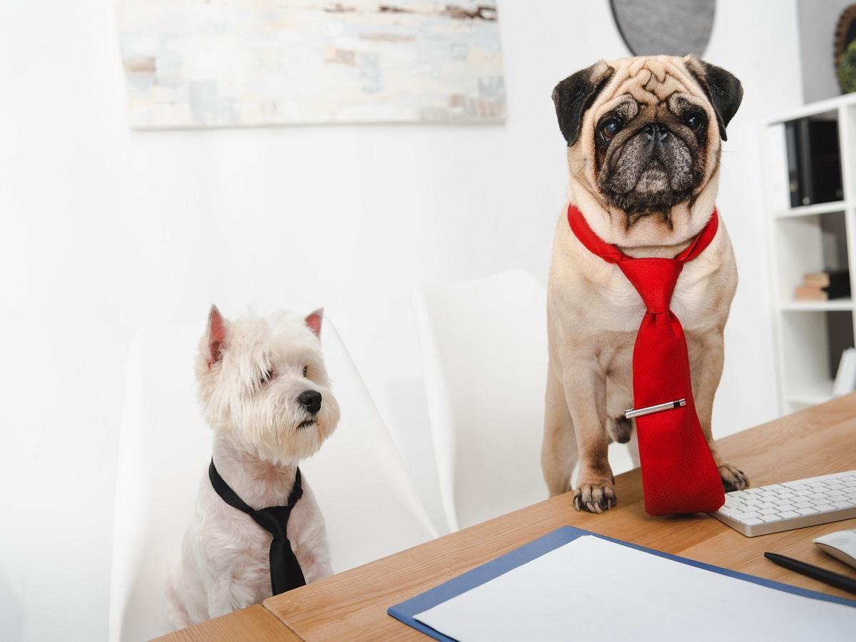 Hund im Büro. Zwei Geschäftshunde in den Krawatten, die im Büro zusammenarbeiten