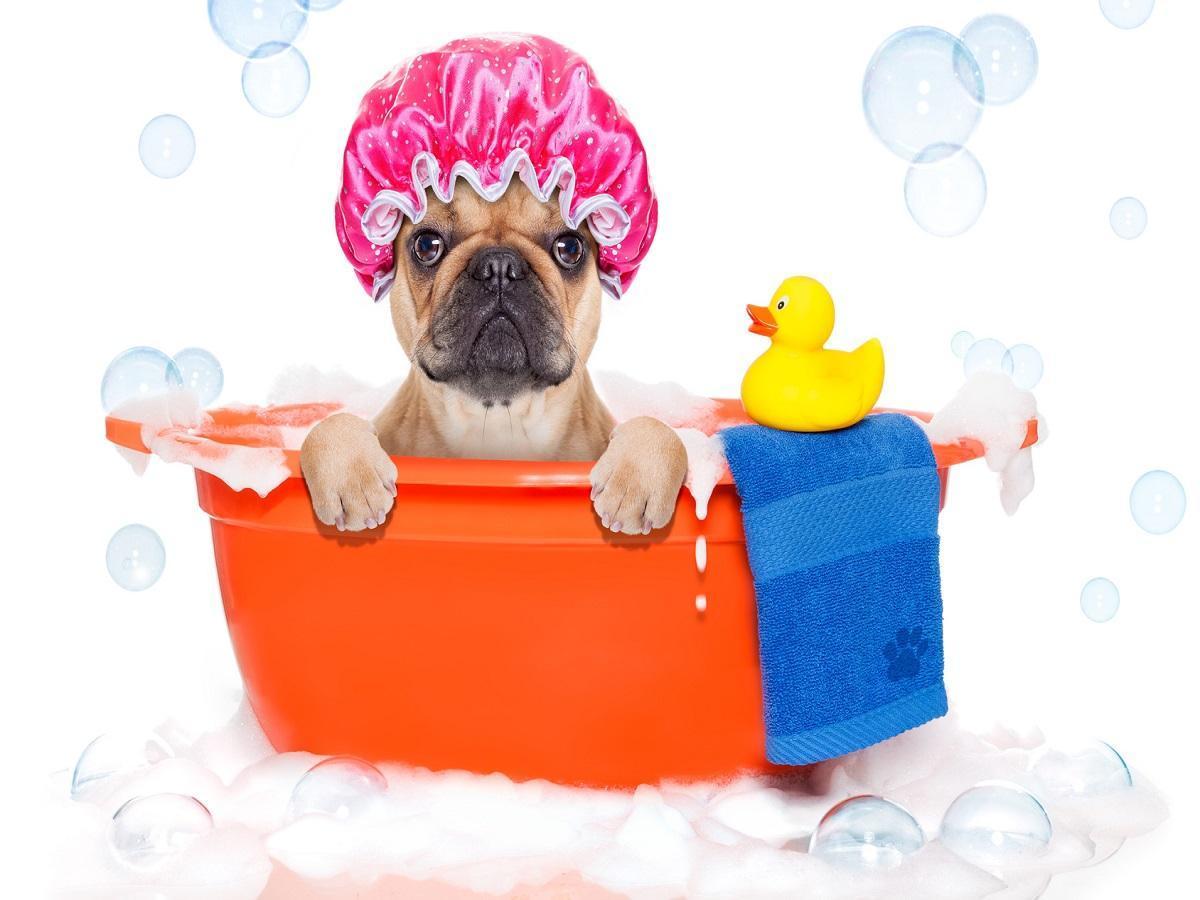 Hunde Wellness. Französischen Bulldogge in einer Wanne mit Badehaube, Ente und Wachlappen
