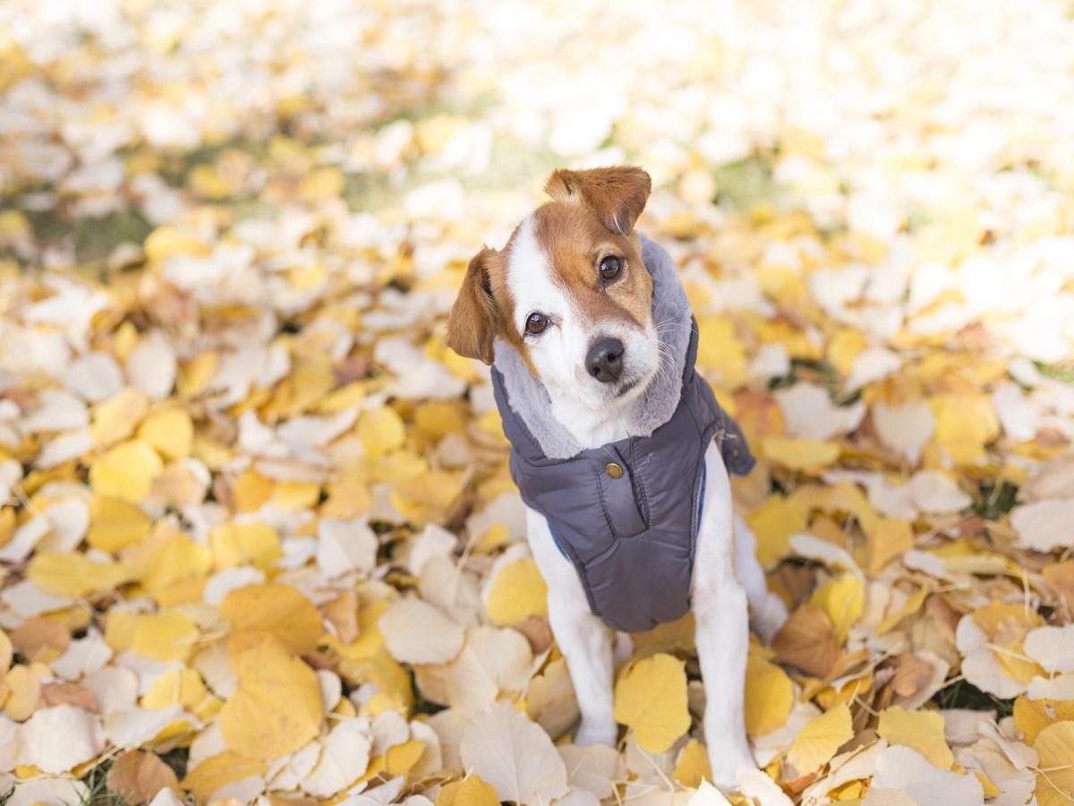 Hundebekleidung. Hund im Laub mit Pullover an