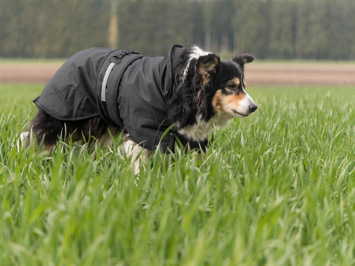 Hundebekleidung. Alter Hund mit Mantel Border Collie 14 Jahre alt