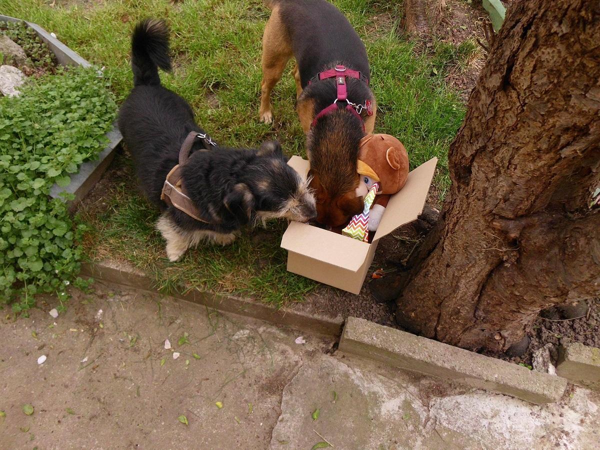 Hundegeburtstag. Zwei Hunde durchsuchen einen Karton