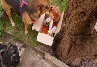 Hundegeburtstag. 2 Hunde untersuchen ein Karton mit Geschenken