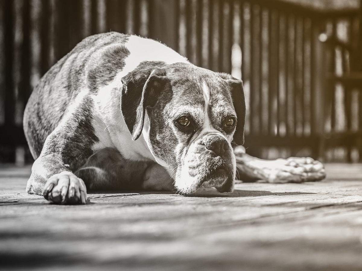 Hundeleiden im Alter. Alter Boxer liegt auf Holzdielen