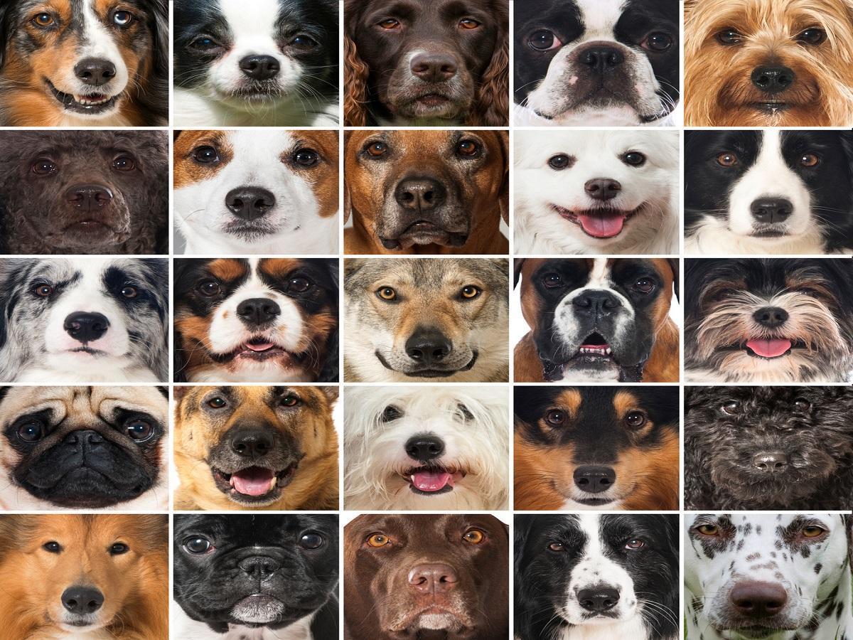 Hunderassen. Hundeschnauzen Collage