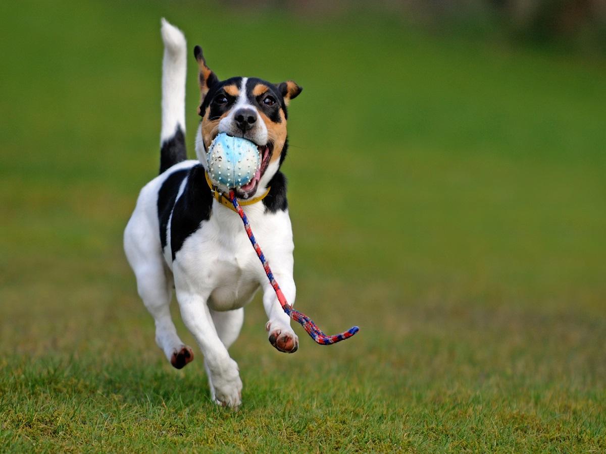 Hundespielzeug. Spielender Jacky