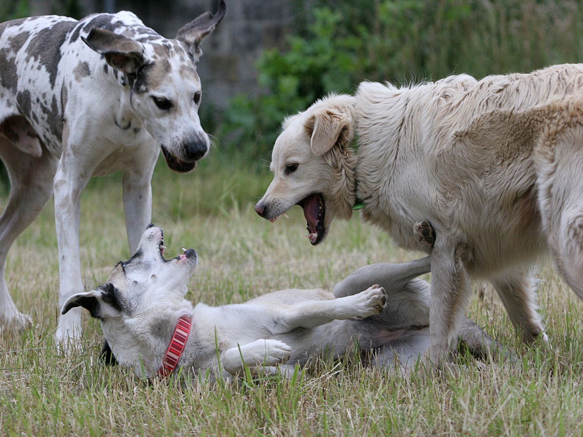Hundesprache. Hunde die die Rangordnung festlegen