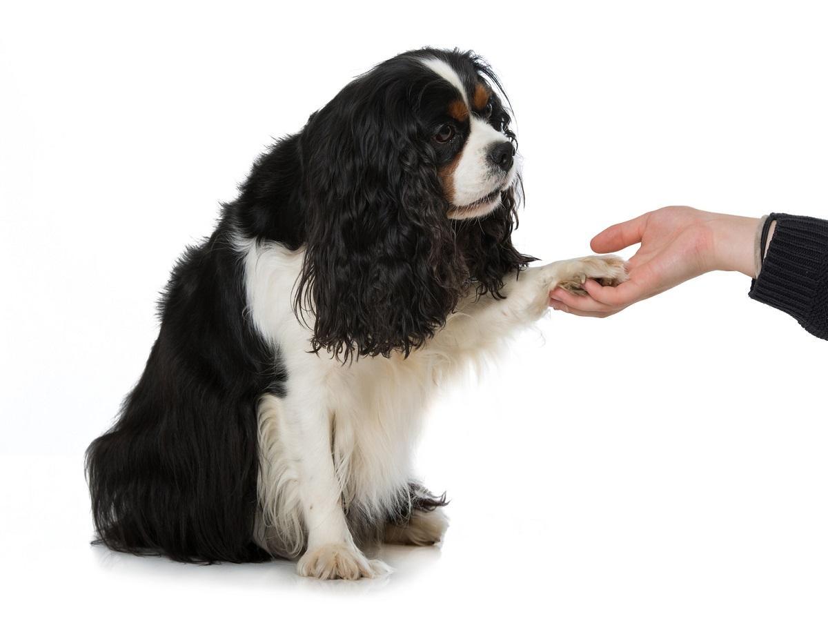 Hundetrick. Pfote geben
