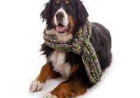 Husten beim Hund. Hund sitzend mit Schal um den Hals