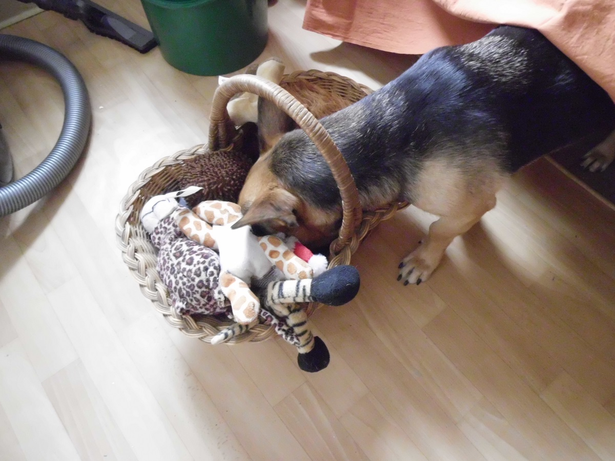 Ideen für Hunde Spiele. Hündin sucht ein bestimmtes Hundespielzeug aus einem Korb in der Wohnung.
