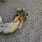 Ideen für Hunde Spiele. Hündin beschäftigt sich alleine mit einem Spielzeug im Garten.