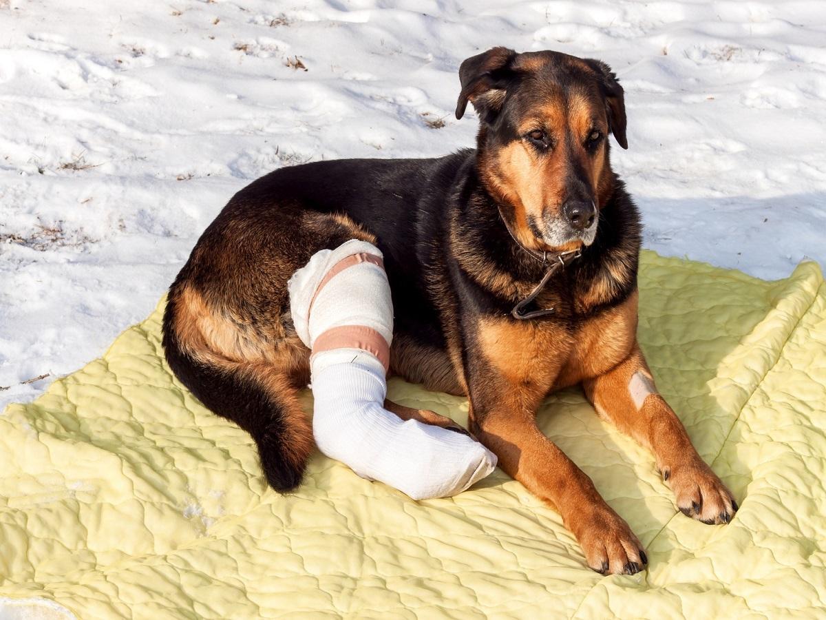 Knochenbrüche beim Hunde. Hund mit Verband im Schnee