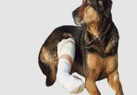 Knochenbrüche beim Hund. Hund auf Decke im Schnee mit verbundenem Bein