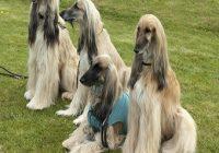 Myelopathie beim Hund. 4 Afghanen Hunde auf Wiese