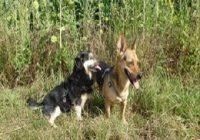Ohrmilben beim Hund mit Beschriftung. Zwei Hunde am Rand eines Sonnenblumenfeldes