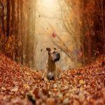 Osteochondrosis beim Hund. Hund im Herbst mit fallenden Blättern