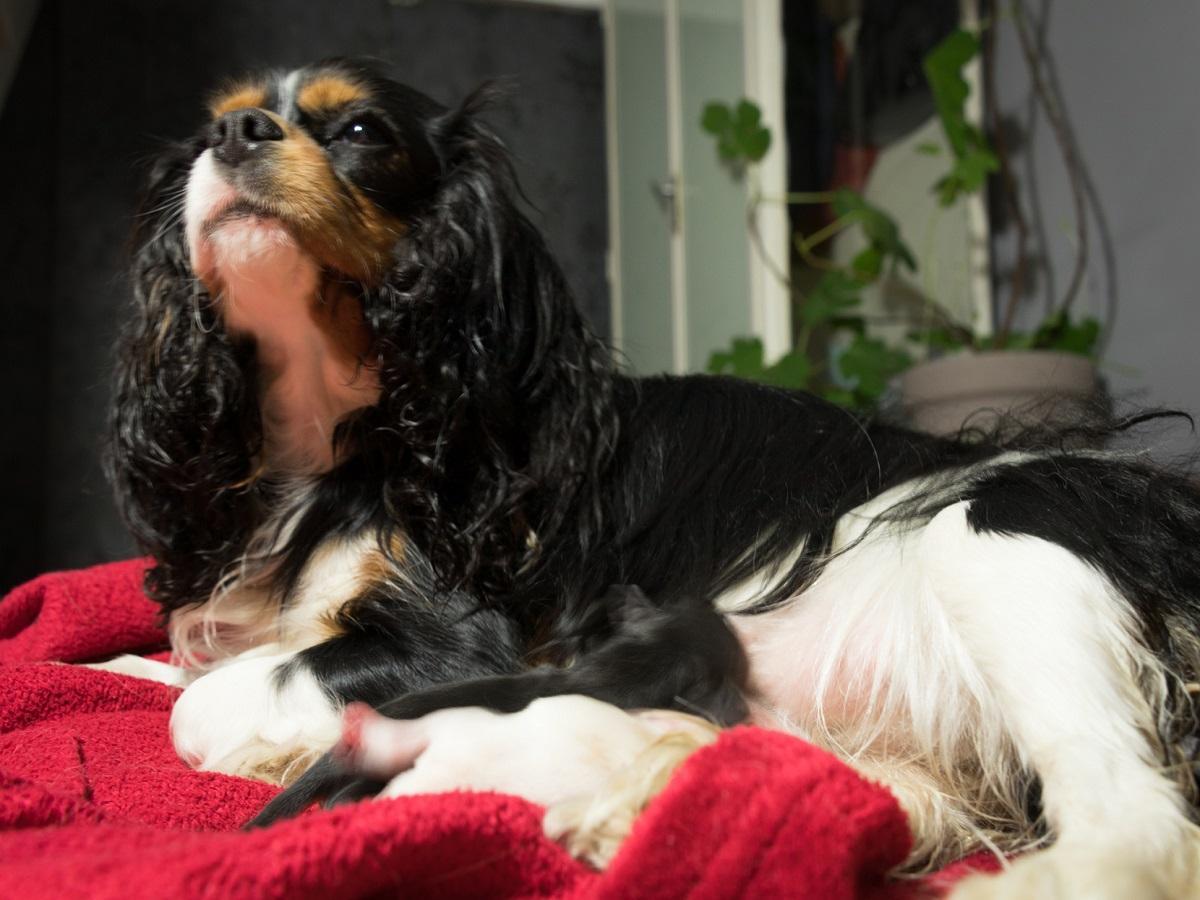 Pankreatitis beim Hund. Hund liegt auf Decke