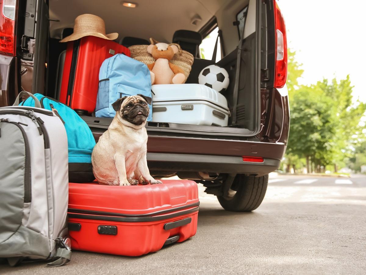 Reiseübelkeit beim Hund. Kofferraum mit süßen Mops und Gepäck