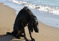 Reiseübelkeit beim Hund. Trauriger nasser Hund am Strand