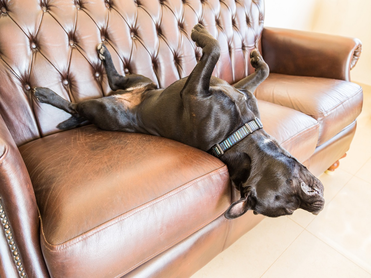 Schlafgewohnheiten eines Hundes. Ein schwarzer Staffordshire-Bullterrier schläft auf einem braunen Ledersofa der Weinleseart. Er liegt auf dem Rücken, die Füße in der Luft und der Kopf hängt an der Seite des Sofas. er ist sehr entspann