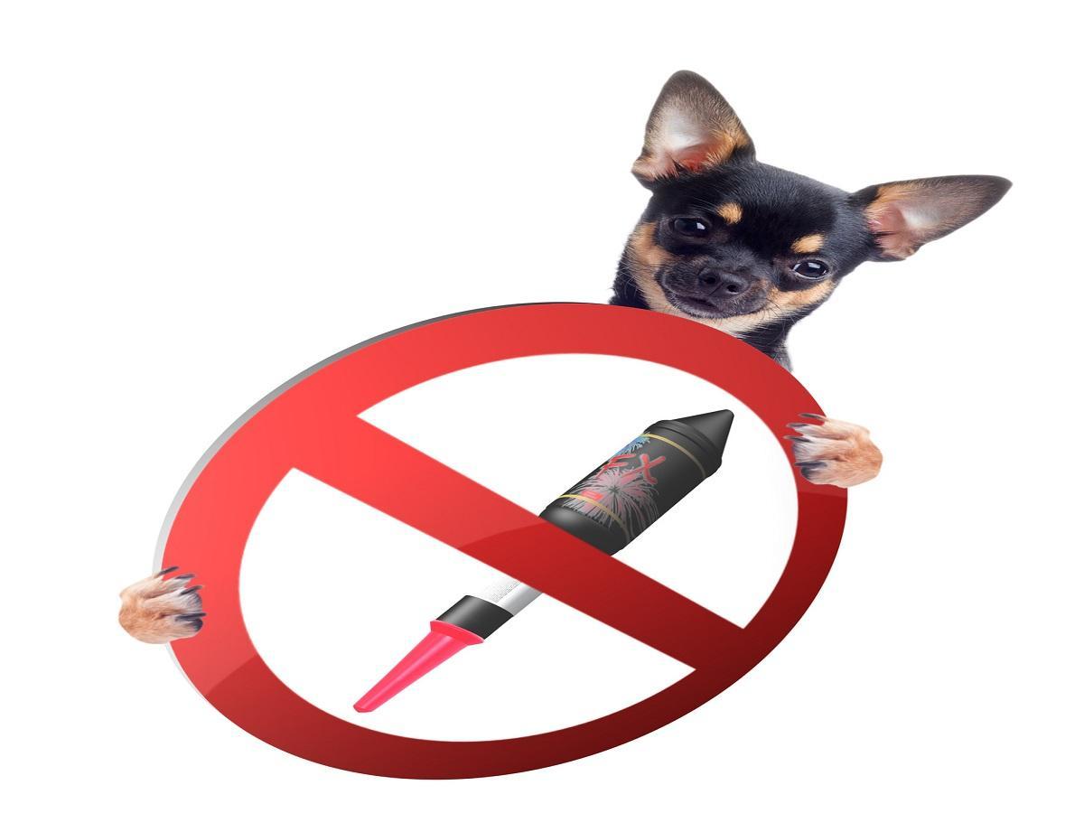 Silvester mit Hund. Chihuahua hält verbots Schild mit Rakete zwischen den Pfoten