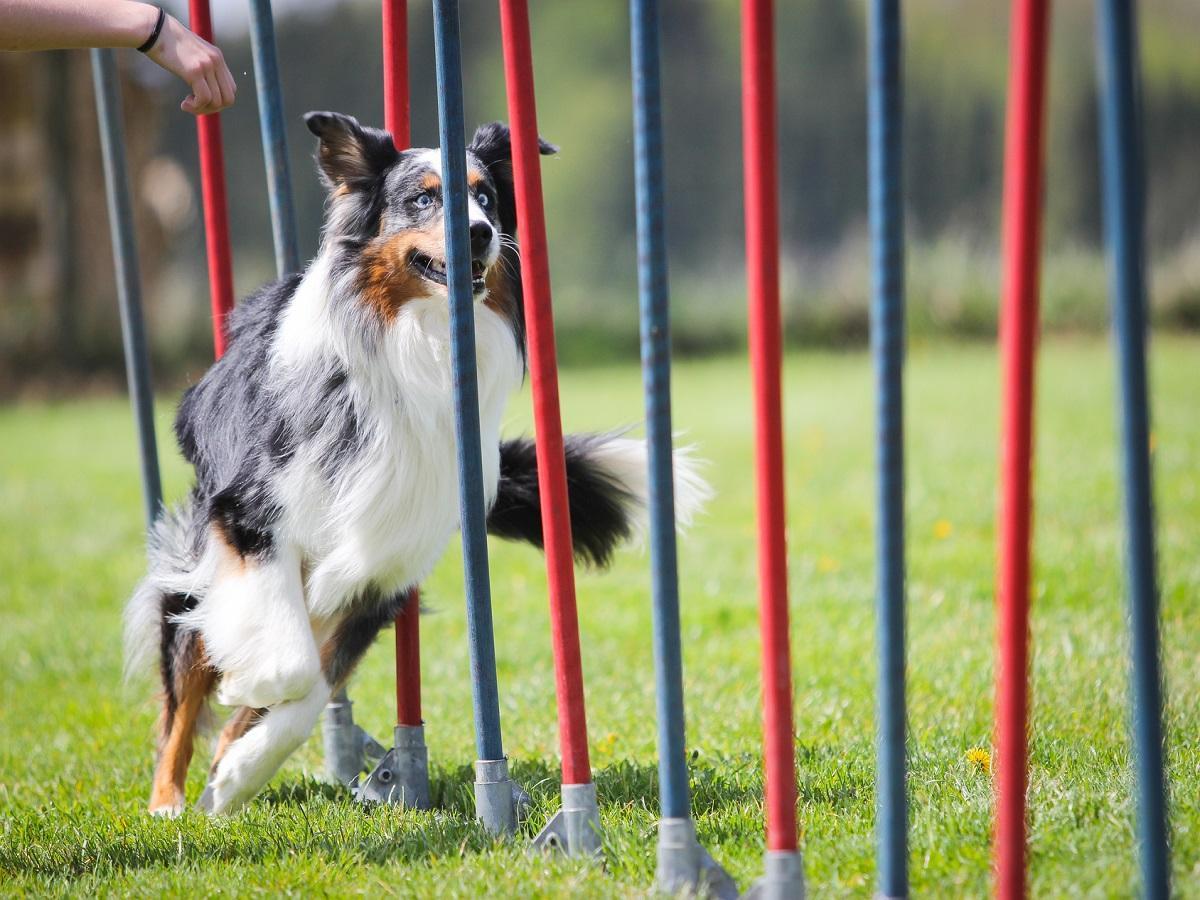 Slalom mit Hund. Hund rennt durch Stangen