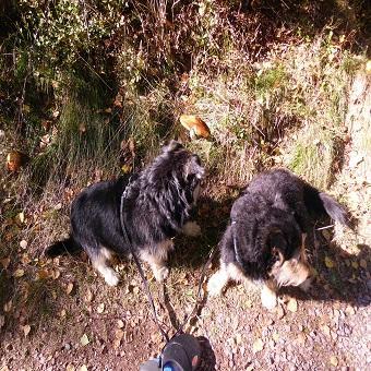 Startseite Der Pfoten Freund. 2 Hunde an einer Leine am Waldrand
