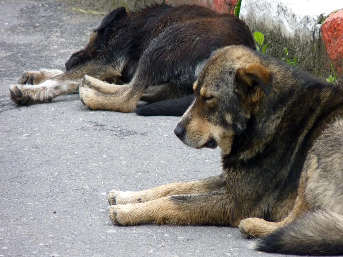 Straßenhunde. Schlafender Hund in den Karpaten in Rumänien