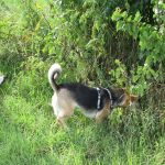 Suchen und bringen spielerrich umsetzen. Hündin findet einen Ball unter einem Baum