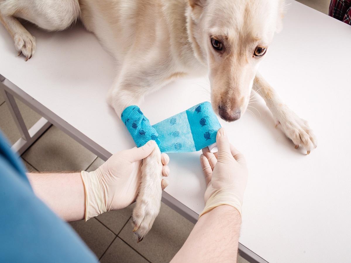 Tierarzt. Hund bekommt Pfote verbunden