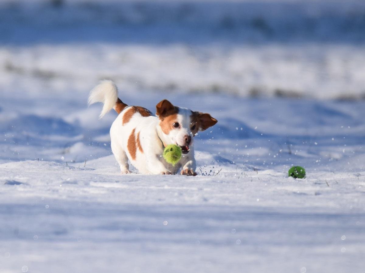 Toben im Schnee. Kleiner, braun-weißer Hund spielt im Schnee mit einem grünen Tennisball