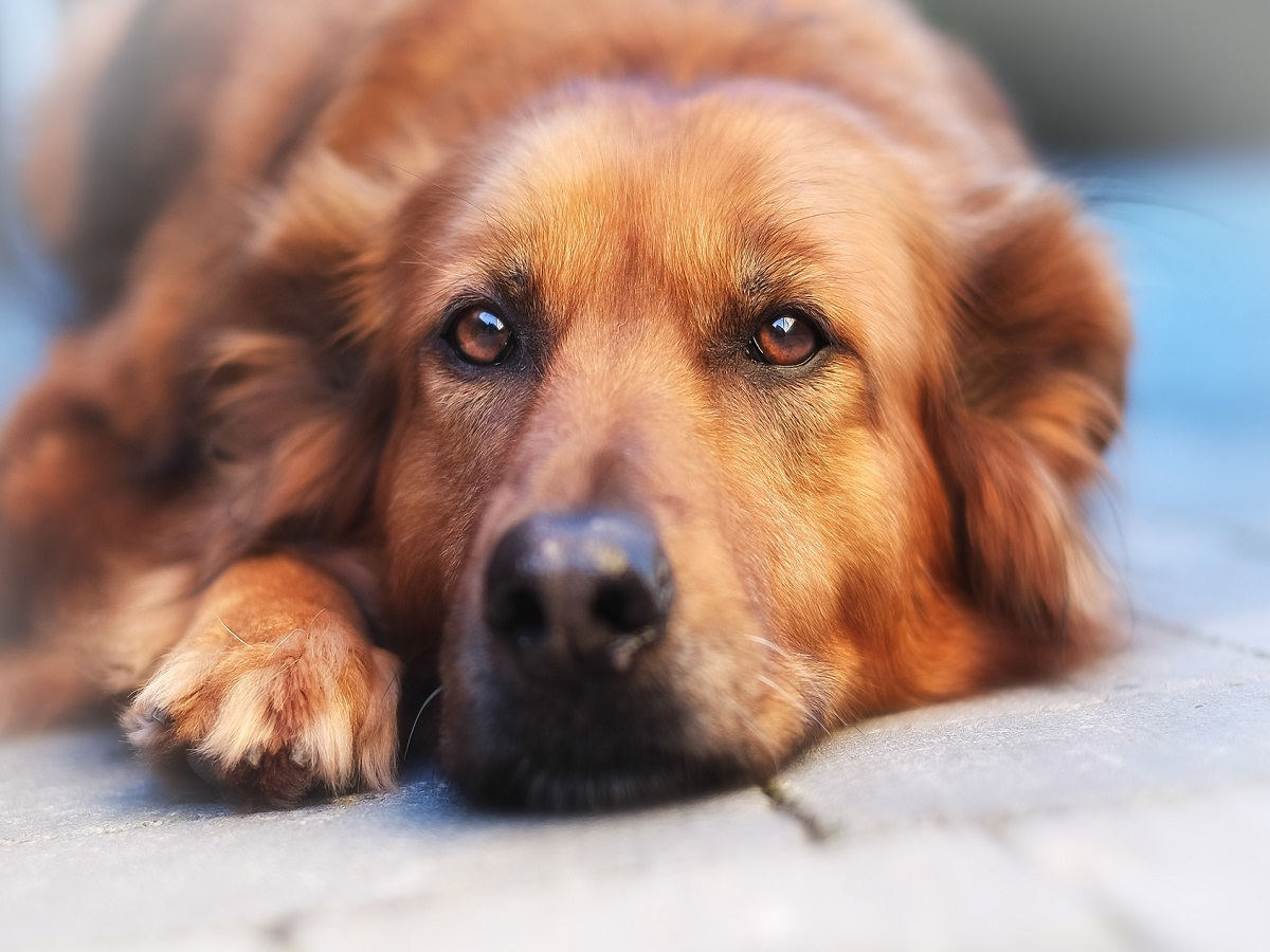 Trauer bei Hunden. Entspannter Mischlingshund, der direkt in die Kamera schaut