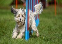 Turnierhundesport. Hund läuft Slalom