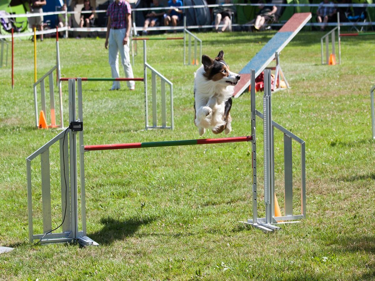 Turnierhundesport. Hund springt hoch über Stange