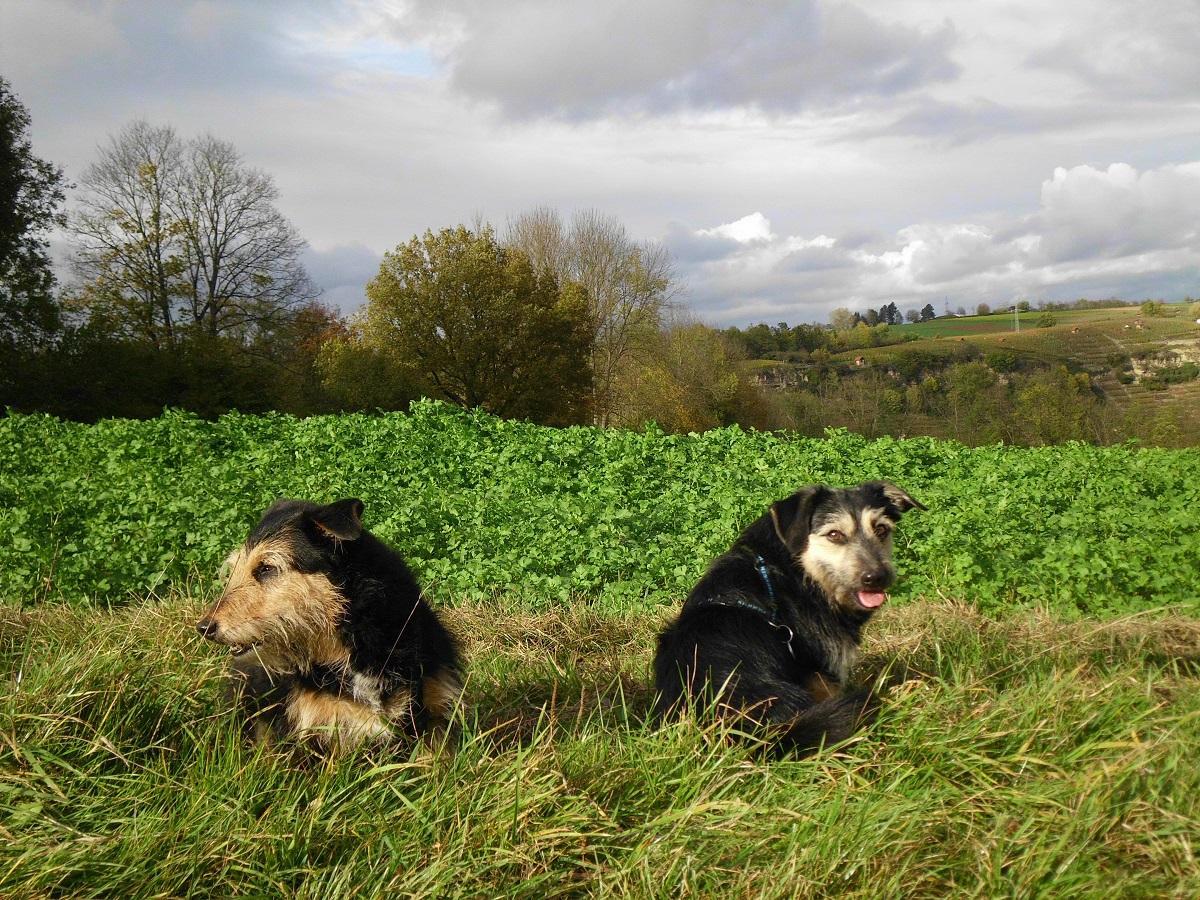 Urlaub mit Hund. 2 Hunde am Feldrand