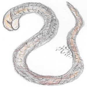 Spulwurm gezeichnet
