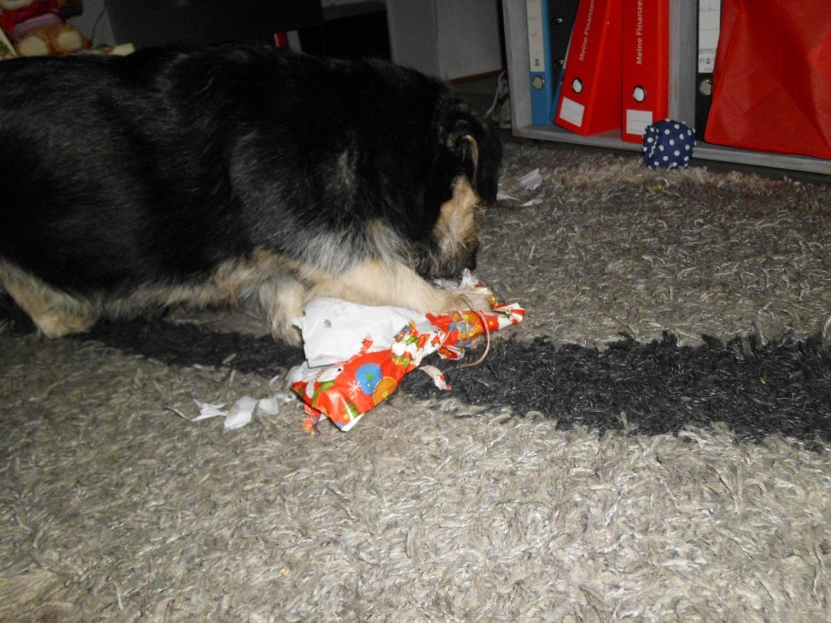 Weihnachtsgeschenke für Hunde. Hund packt Geschenk aus