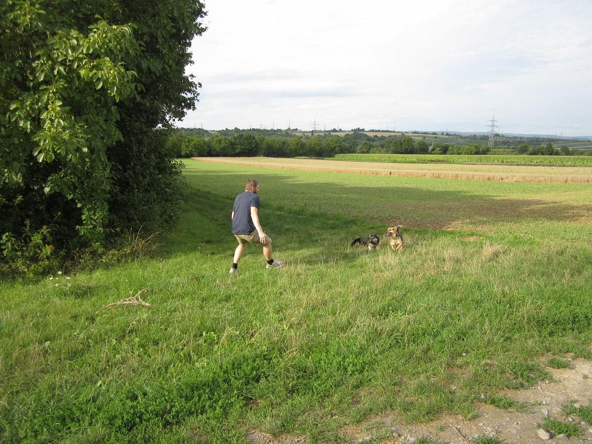 Wer hat den Ball. Zwei rennende Hunde mit Mann auf Wiese