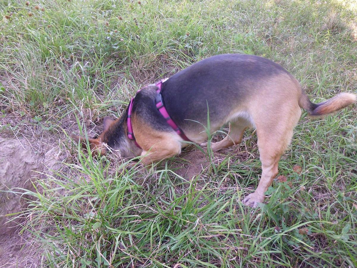 Wurmkur beim Hund. Hündin sucht Mäuse im Gras