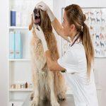 Zahnstein beim Hund. Ärztin untersucht Hundezähne