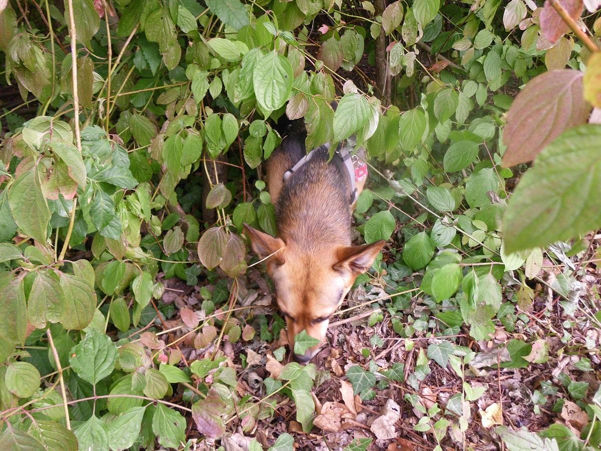 Zecken beim Hund. Hündin durchsucht das Gebüsch