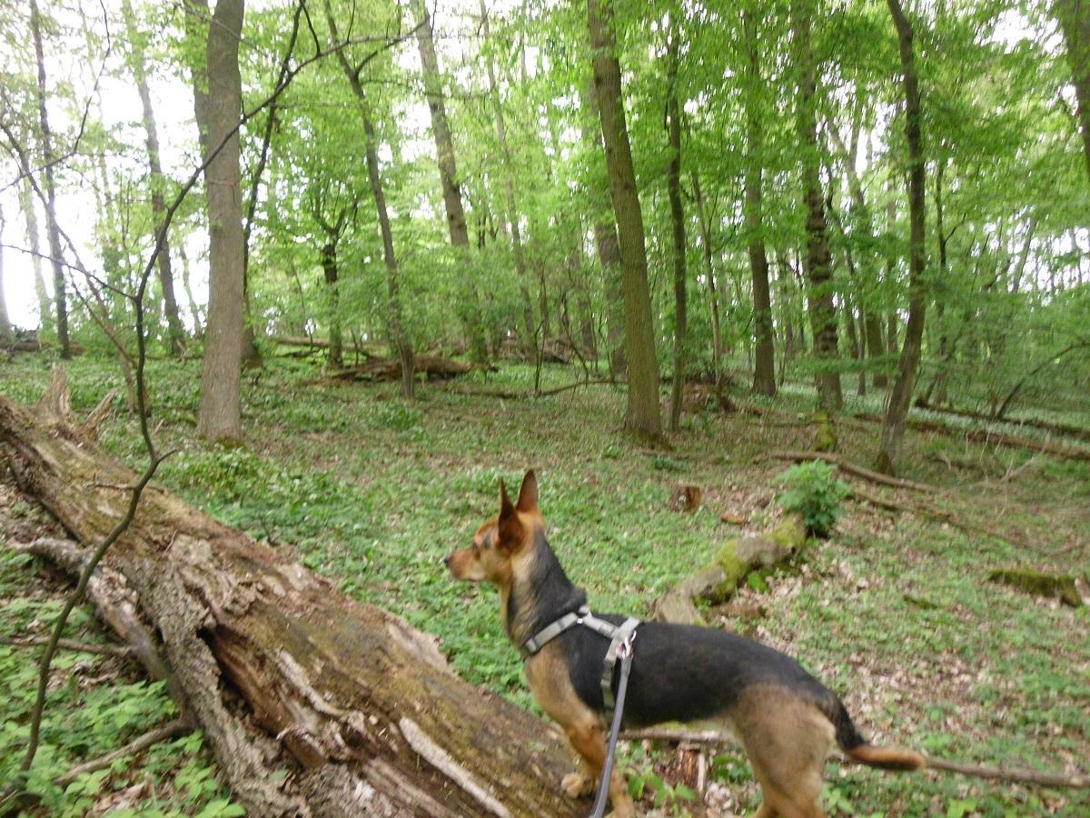 Zecken beim Hund. Hündin steht auf einem Baumstamm im Wald