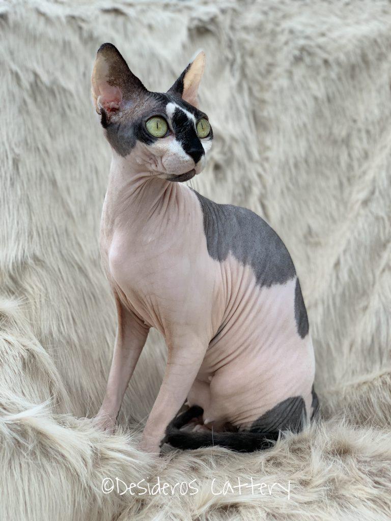 Sphynx nakenkatt uppfödare
