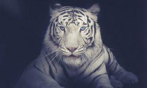 Witte tijger op zwarte achtergrond op plexiglas